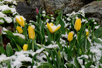 May Day Tulip Snow (Competition)
