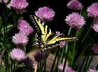 Tiger Swallowtail in the Chive Patch (4th place, Exhibition)